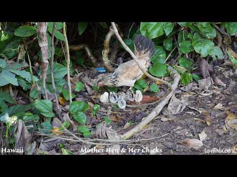 Mother Hen & Her Chicks | Hawaii | LoveBirdsCentral2 #12