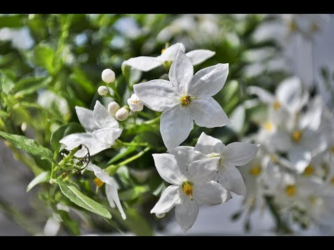 Jasmine types