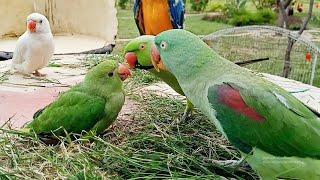 Talking Parrot Greeting Baby Parrot