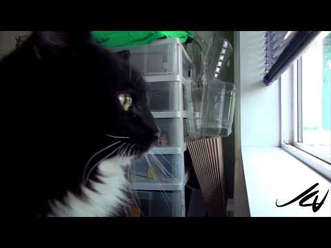 very protective indoor cat, growling and hissing  -  YouTube