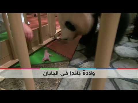 بي_بي_سي_ترندينع | #بالفيديو : ولادة #باندا في محمية في #اليابان  - نشر قبل 2 ساعة