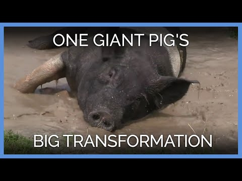 One Giant Pig S Big Transformation YouTube