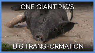 One Giant Pig