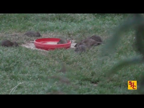 Pest Control with Air Rifles - Rat Shooting - Archive Bro Ratting