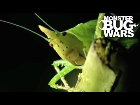 Horned Katydid vs  Owl Butterfly Caterpillar | MONSTER BUG WARS
