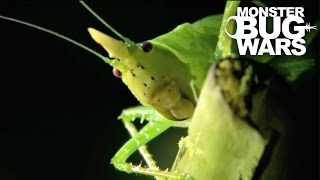 Horned Katydid vs  Owl Butterfly Caterpillar | MONSTER BUG WARS