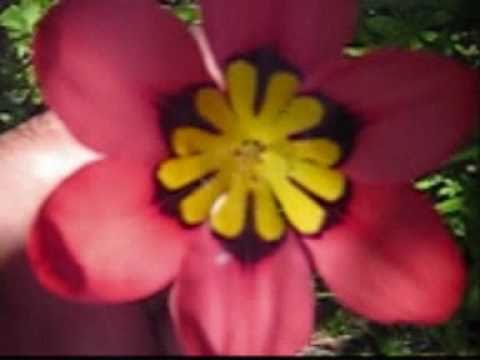 sparaxis centre of the universe harlequin flower sparaxis youtube
