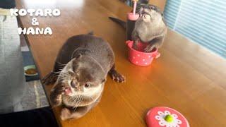 お鍋に入ったホタテをめぐるカワウソたちの戦い Can Otters Share The Scallops in The Pot?