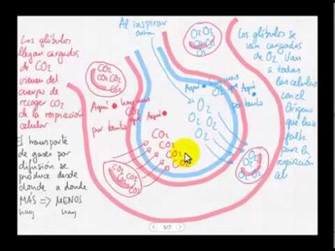 Intercambio de gases en alvéolo - YouTube