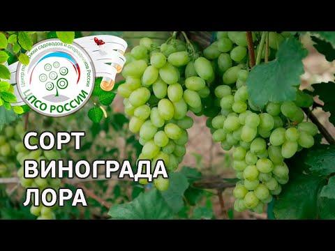 Сорт винограда Лора. 🍇 Описание сорта винограда Лора.