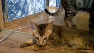 Видео №6 Кот и сиська