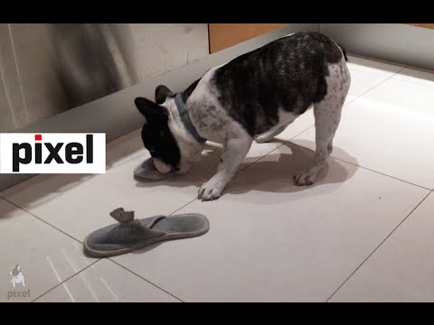 Pixel The French Bulldog Can't Decide Which Slipper to Attack