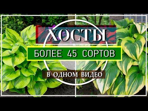 ХОСТЫ / БОЛЕЕ 45 СОРТОВ Хост в Моем Саду / ОБЗОР