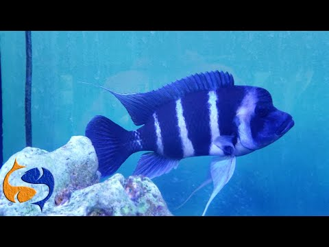Can You Mix Frontosas With Mbunas? Bettas In Rum Bottles And Large Cichlids In A 10 Gallon Tank