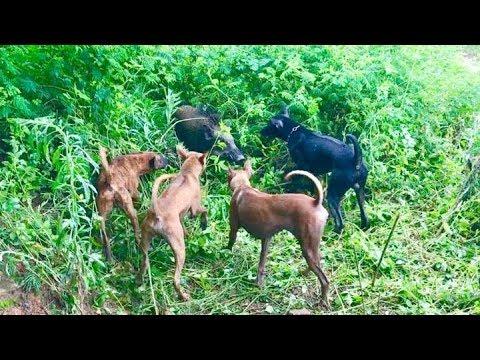 Phu Quoc Dogs practise to hunt wild boar (Chó Phú Quốc tập săn Heo Rừng)