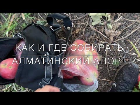 Как и где собирать Алматинский апорт. Яблоневый сад. Апорт Алматы.