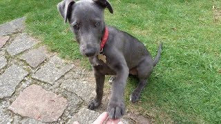 Cute Lurcher Puppy Learns A Trick At 12 Weeks Old