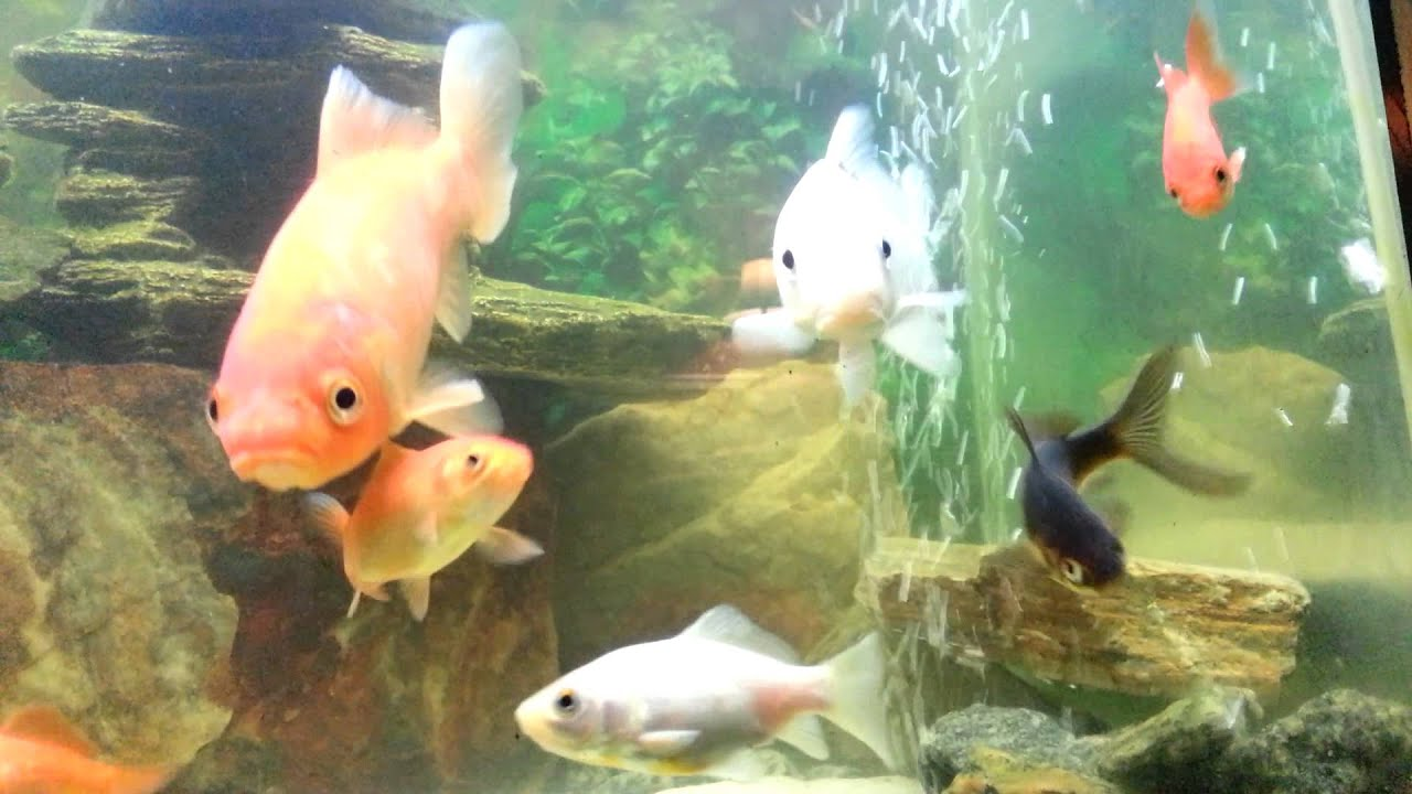 Koi and goldfish 55 gallon tank youtube for Koi und goldfisch