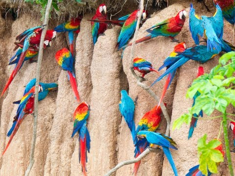 Macaw Parrots | claylicks of tambopata