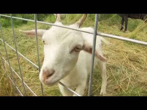 WSDOT's goats clean up Seattle