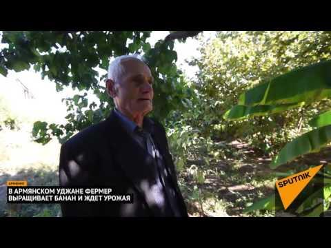 Армянские фермеры ждут урожай бананов