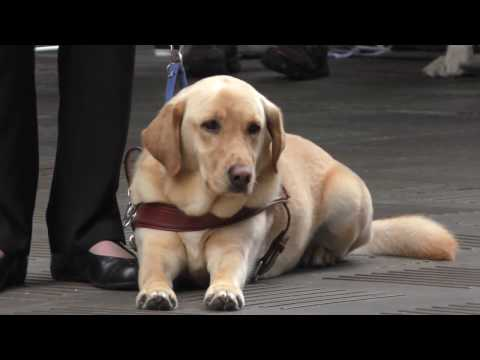 Labrador Guide Dogs Graduation Day with puppy show in 4K, Sydney, Australia 2016