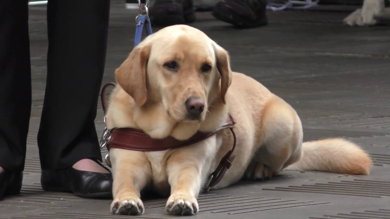Guide dog dogs assistance dog blind visually impaired vision.
