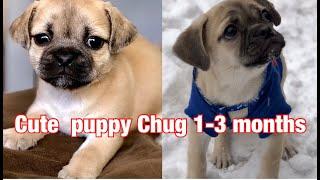 PUPPY MIX Pug & Chi hua hua | CHUG PUPPY 3 months video