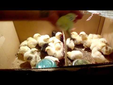 как отличить петуха от курочки у цыплят