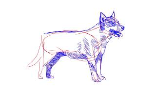 How to draw an Australian cattle dog