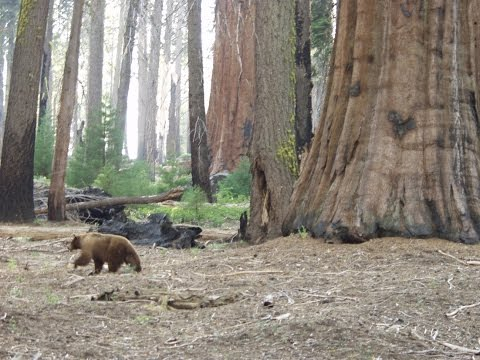 Bear Encounter - Sequoia and Kings Canyon National Park