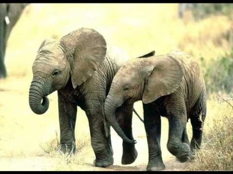 Elefante Africano - African elephant and the human nature - YouTube
