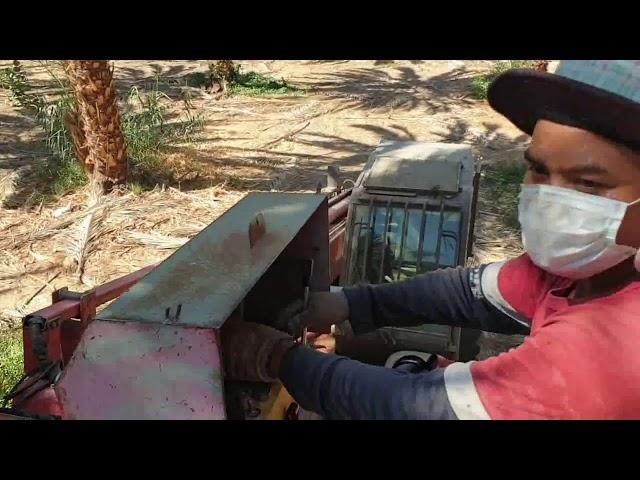 Izraelben datolya szüreten.  Eilat.hu társaságában