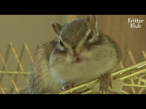 Mischievous Chipmunk & Cheeky Rabbit The Real-Life Chip'N'Dale LOL   Kritter Klub