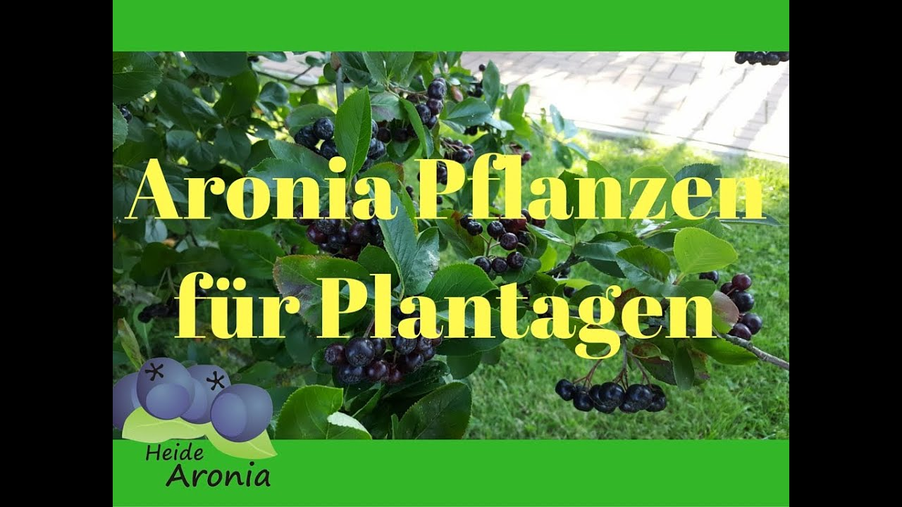 aronia pflanzen f r aronia plantagen bio aronia pflanzen mit hohem ertrag youtube. Black Bedroom Furniture Sets. Home Design Ideas