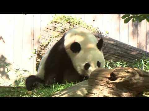 ABC News:Watch Live Pandas: Bei Bei the panda celebrates 4th birthday at National Zoo in Washington