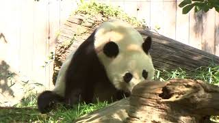 Watch Live Pandas: Bei Bei the panda celebrates 4th birthday at National Zoo in Washington