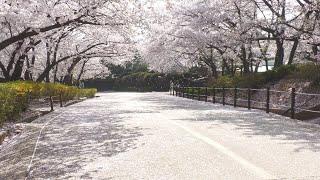 2021 인천SK석유화학 벚꽃(ft도리토리)