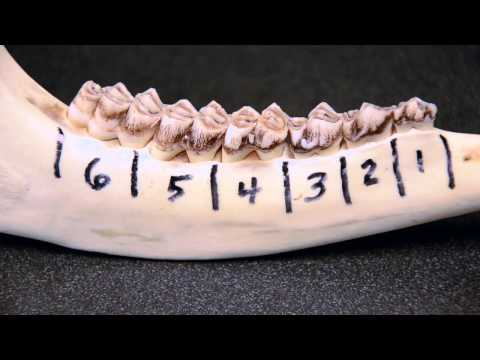 White-tailed Deer Jawbone Aging: Part 1 -- Tooth Replacement