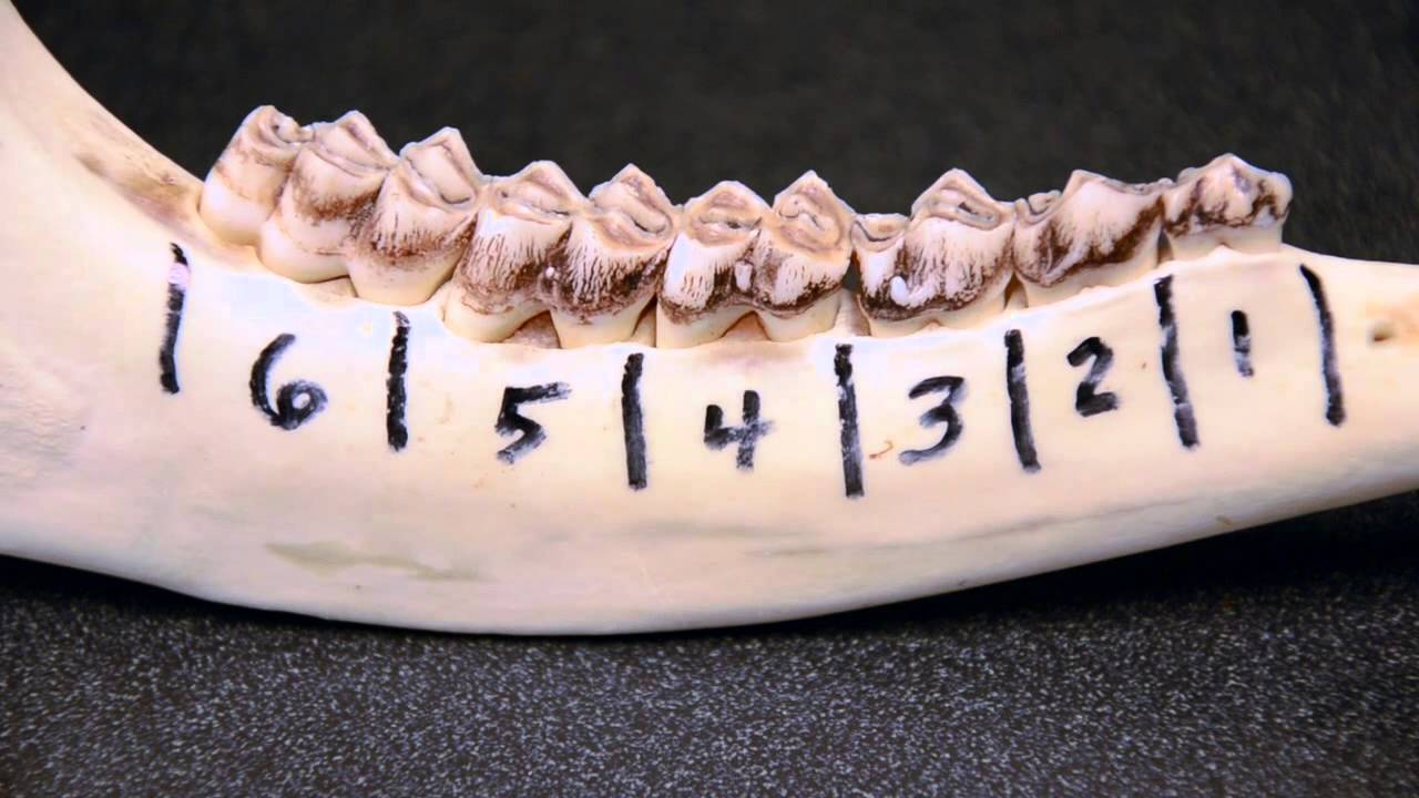White tailed Deer Jawbone Aging Part 1 Tooth