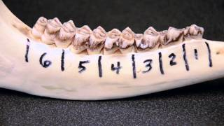 white tailed deer jawbone aging part 1 tooth replacement