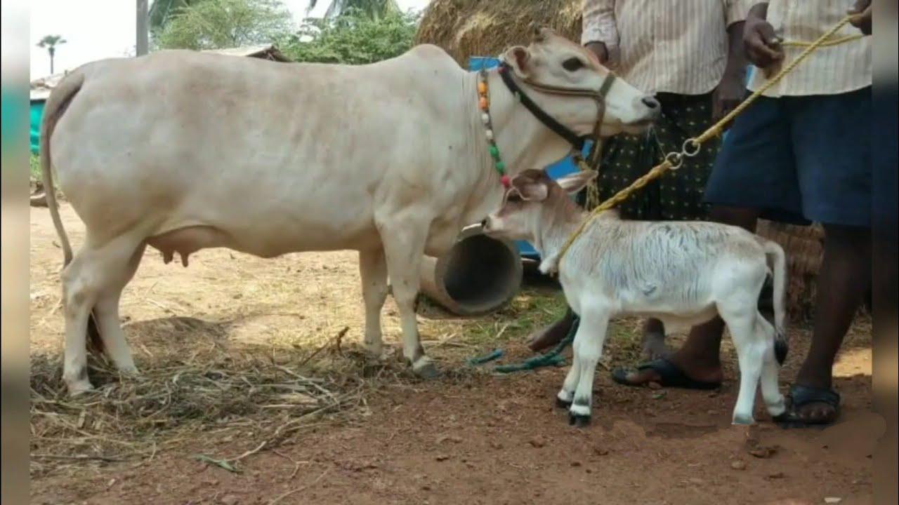 PUNGANUR COW AND CALF