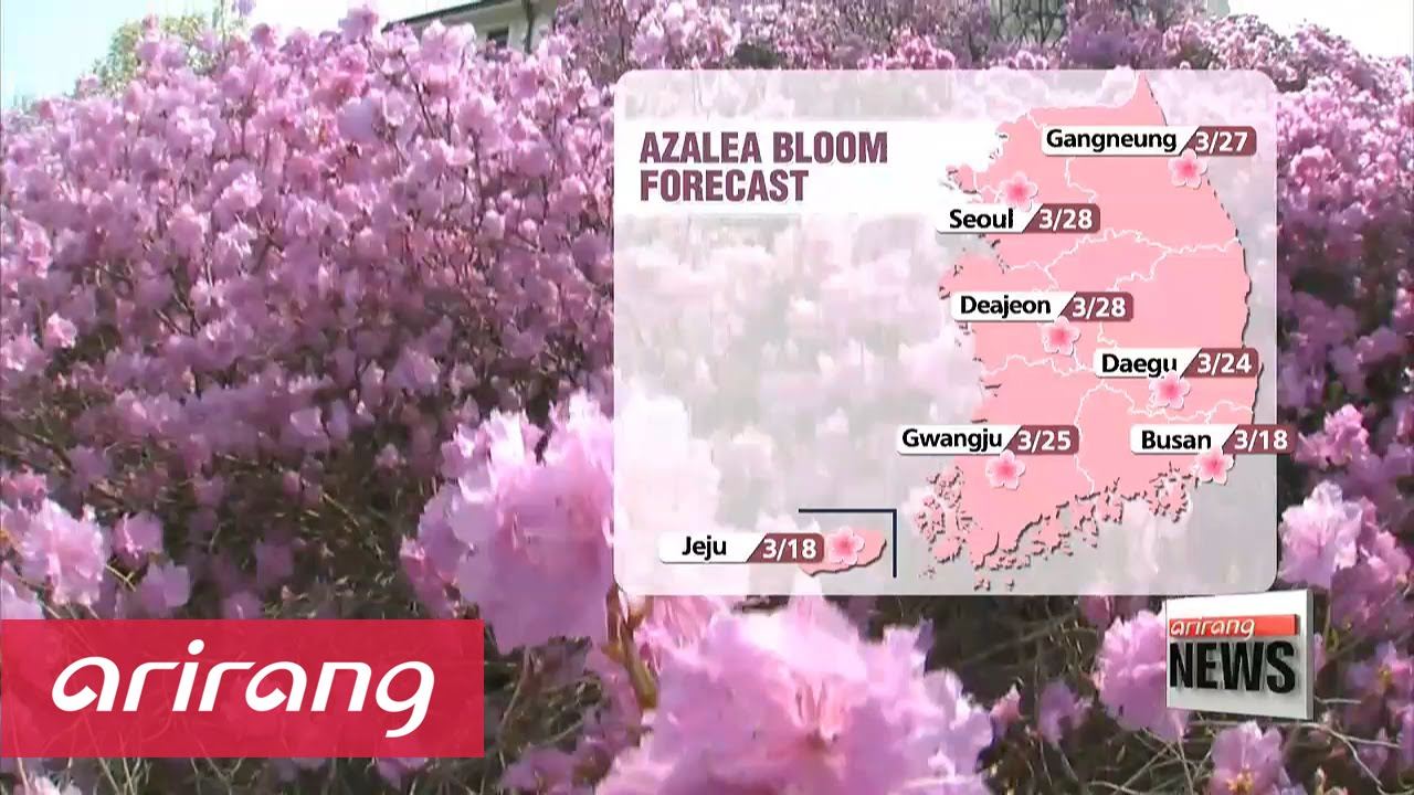 Spring Flowers In Korea Blooming Earlier Than Before Youtube