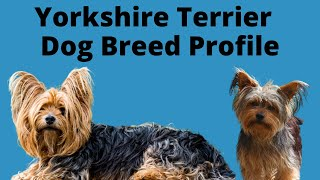 Yorkshire Terrier (Yorkie) Dog Breed Profile