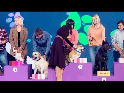Вопрос: Как определить породу собаки (на спине волосы немного волнистые)?
