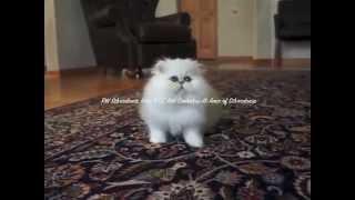Silverdonia wonder 12 weeks old, chinchilla silver persian kitten