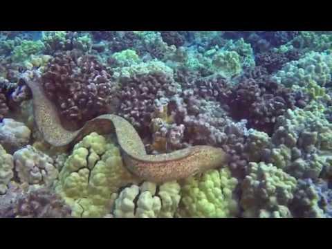 Moray Eel Eats Octopus