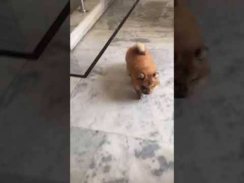 Chow Chow male dog female puppy for sale in Delhi Dwarka petshop call 921 250 1257