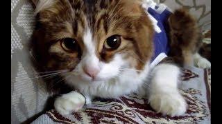 Кошка отходит от наркоза. Не могу смотреть на это без слёз😢