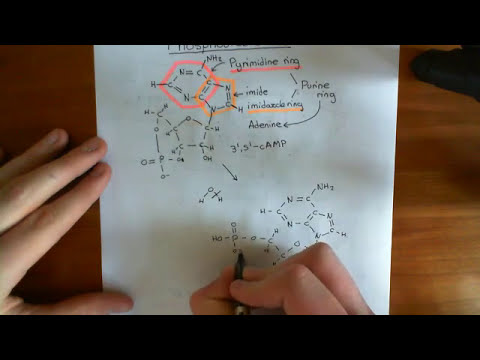 The Phosphodiesterase Enzymes Part 1